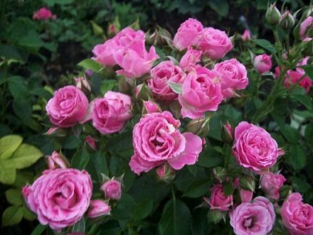 Роза лидия и описание и уход