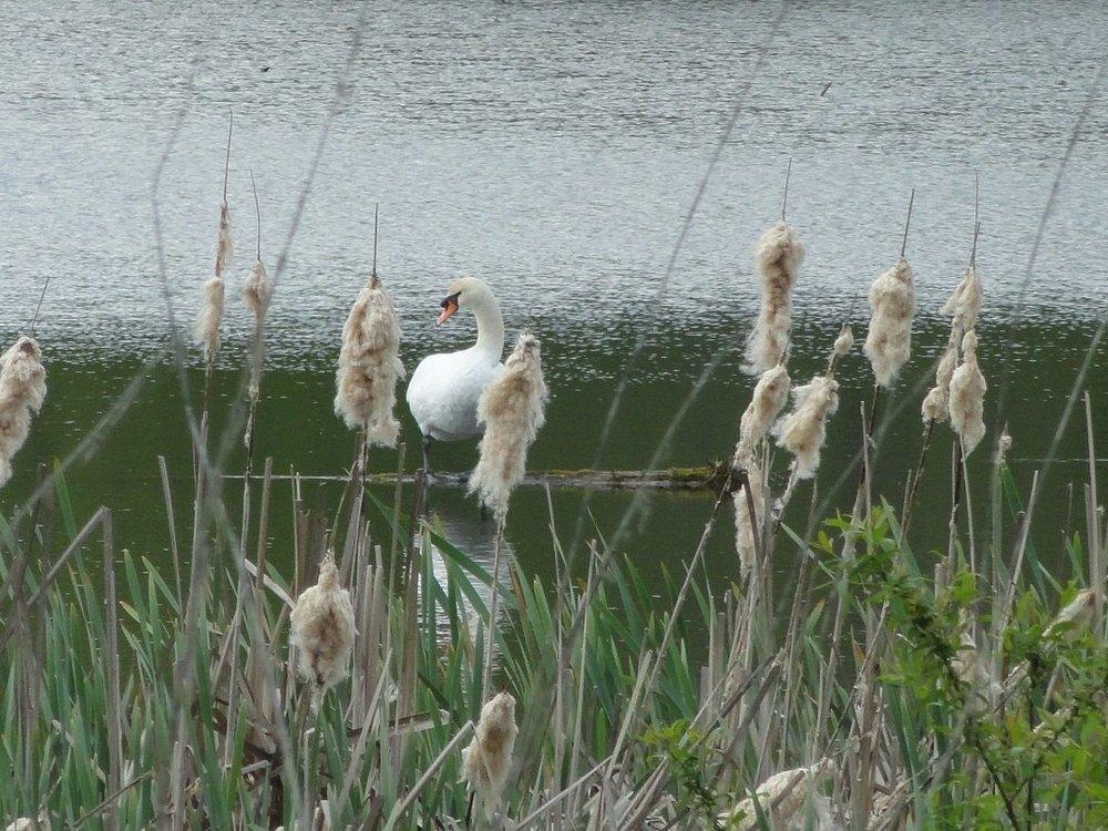 домик с видом на пруд и лебедями.
